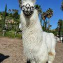 Long-necked Llamas