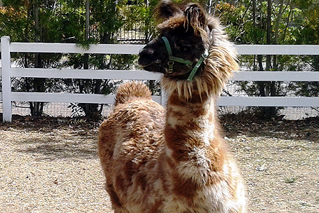 Llamas Participate in Local Charity and Community Events